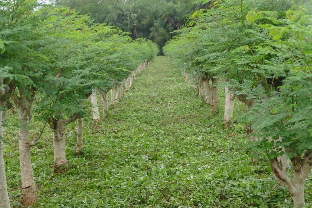 La moringa posee una alta concentración de nutrientes y antioxidantes, como la Vitaminas A y C, Zinc, Magnesio, Calcio, Hierro, Potasio y Fósforo. Foto: Gentileza.